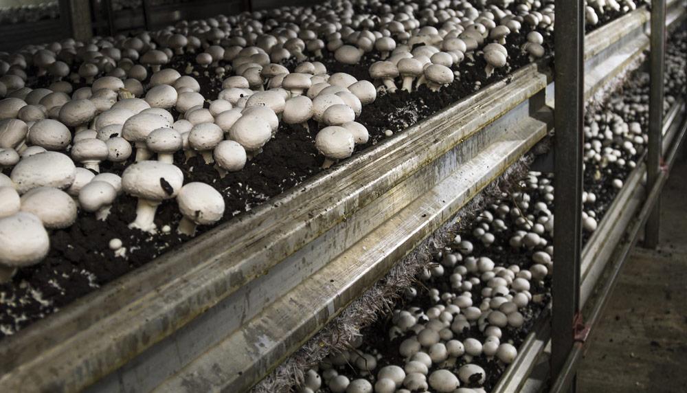 Energieeffizienz für die Pilzfarm