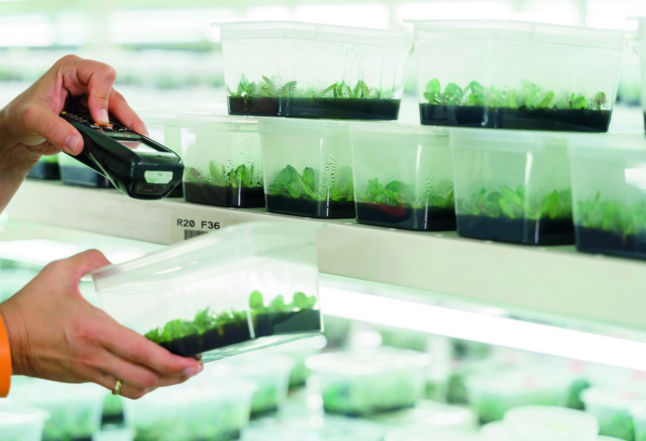 Jungpflanzenproduktion unter sterilen Arbeitsbedingungen (Bild: Bernd Lehnert)